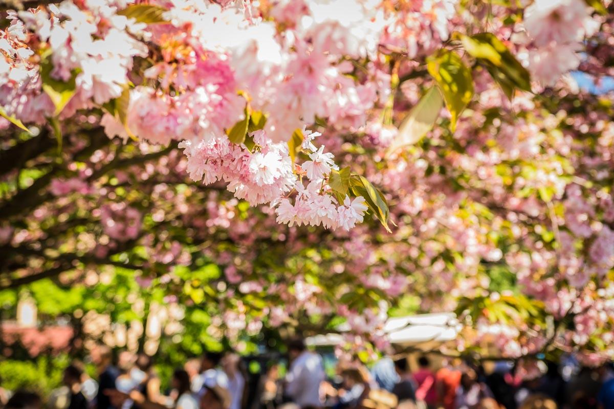 Hanami Kirschblütenfest