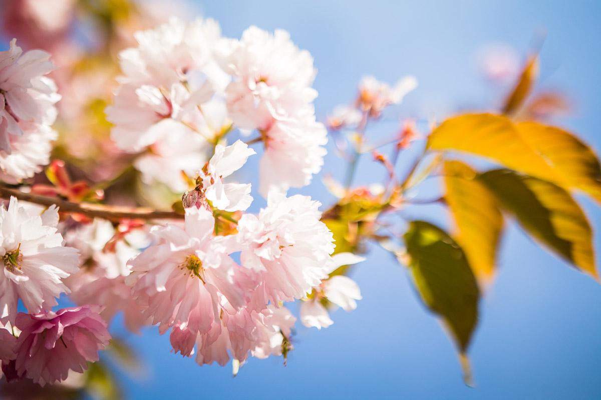 Kirschblüten gegen blauen Himmel