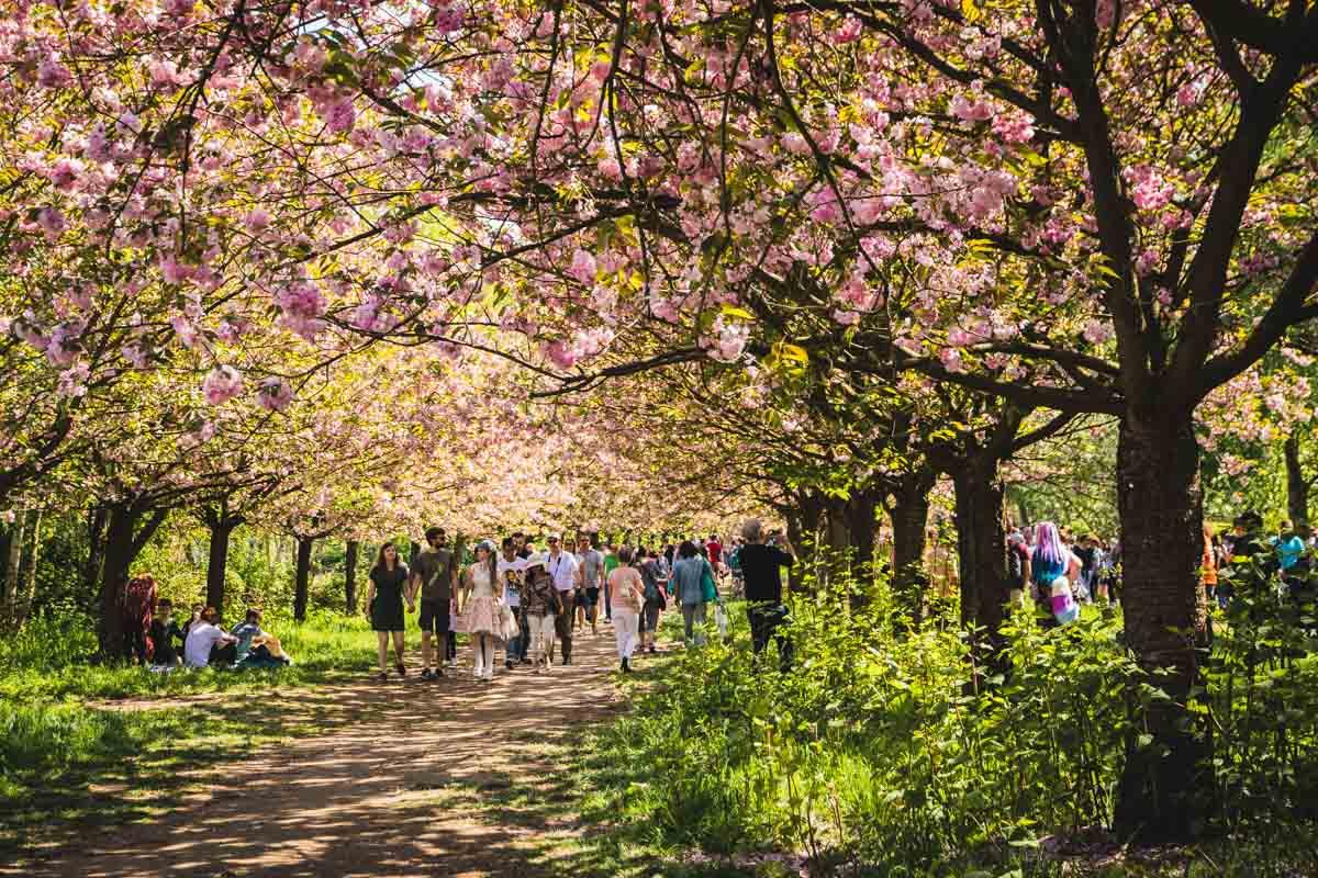 Menschen unter Kirschblütendach