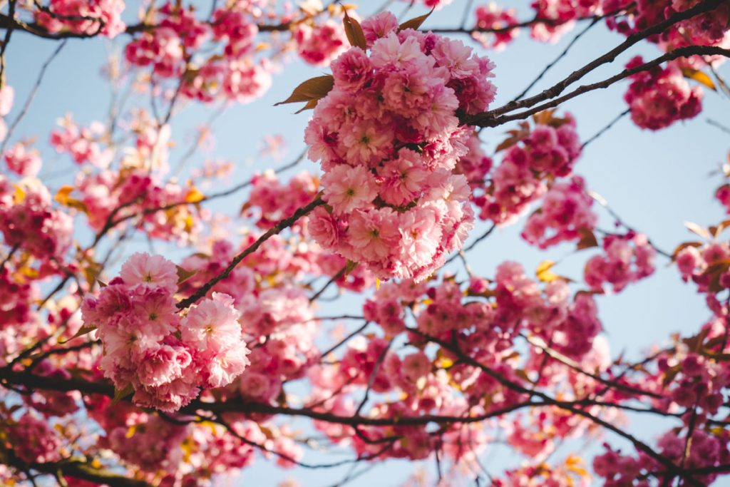 Äste mit Kirschblüten
