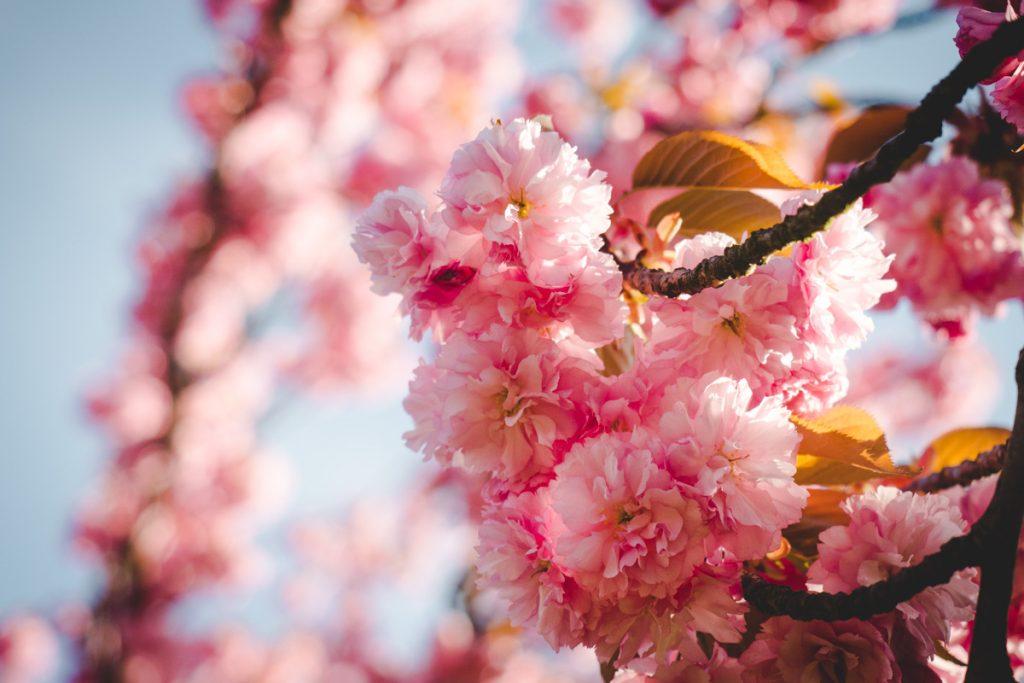 Nahaufnahme Kirschblüten