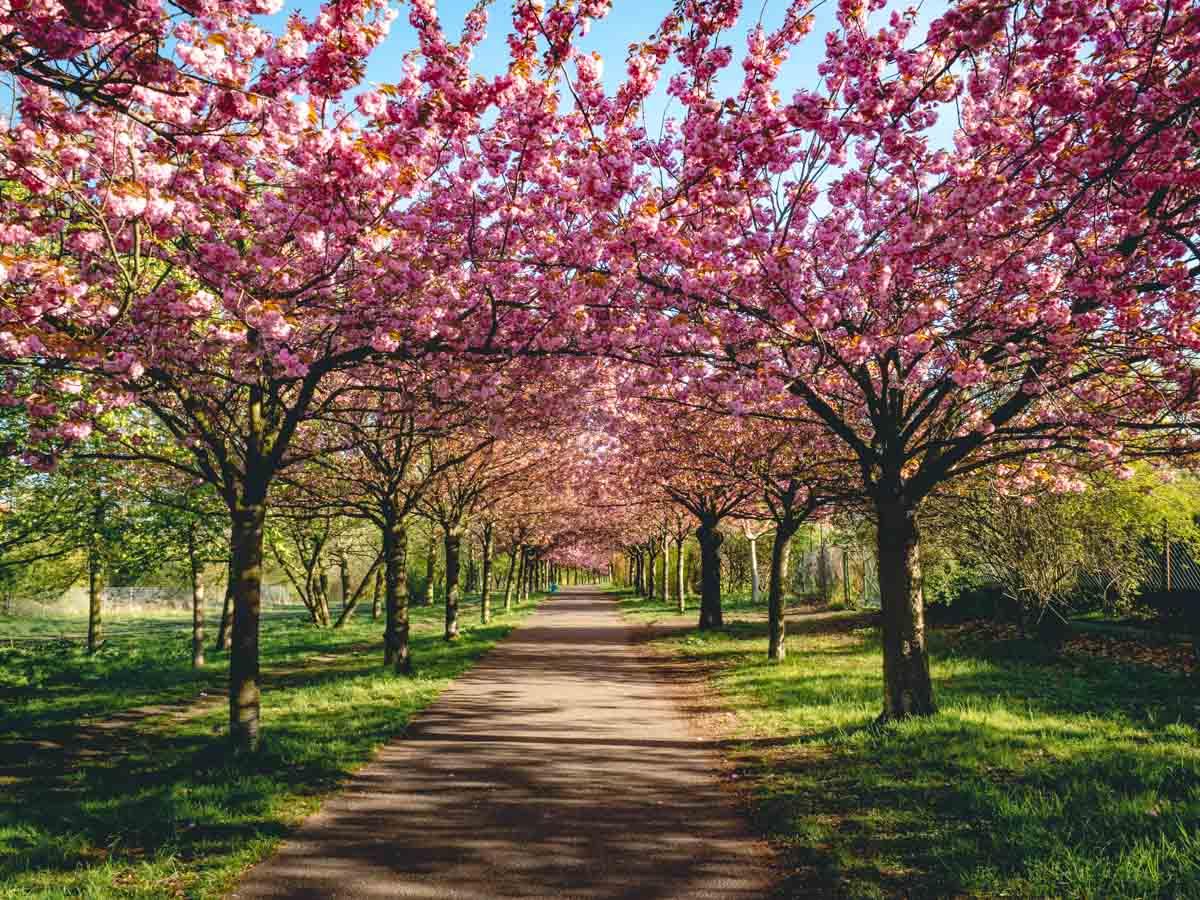 Kirschbäume ergeben ein Blütendach, Berlin, Bornholmer Straße
