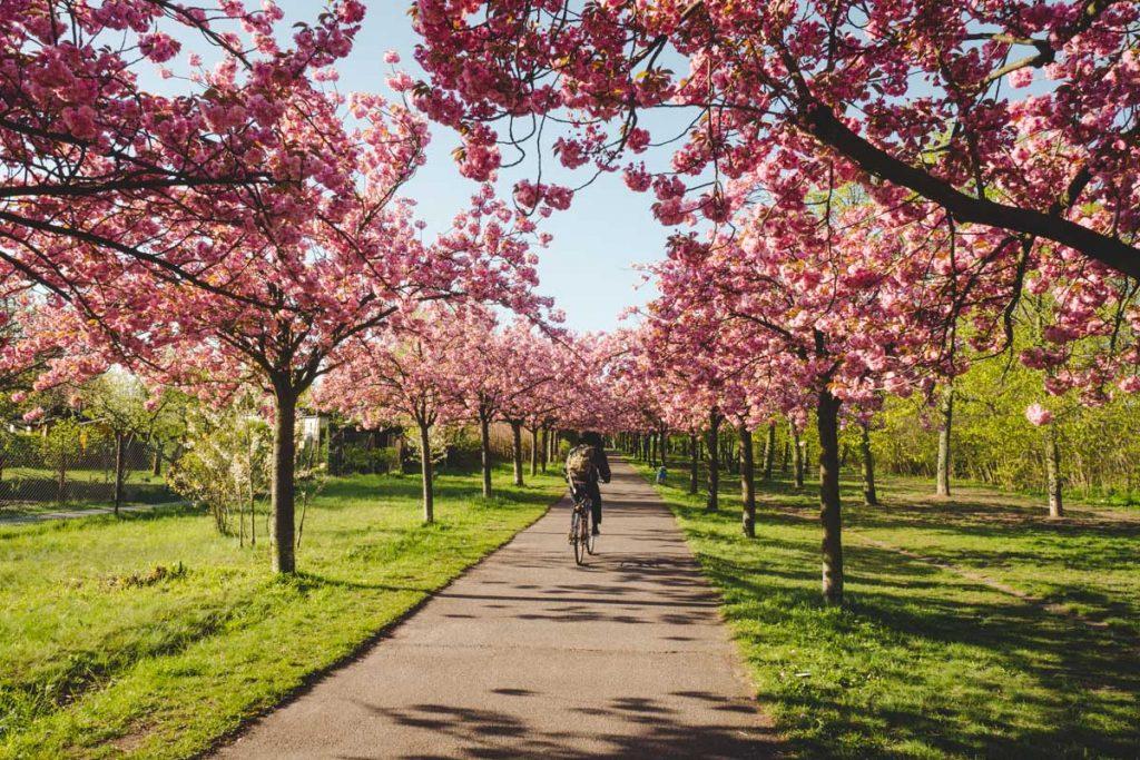 Kirschblüten am S-Bahnhof Bornholmer Straße