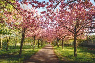 Kirschblütendach