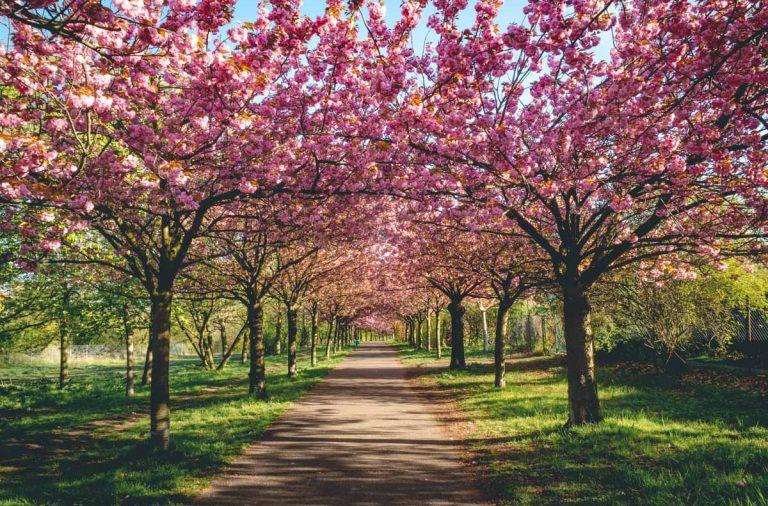 Kirschblütenallee Berlin Bornholmer Straße