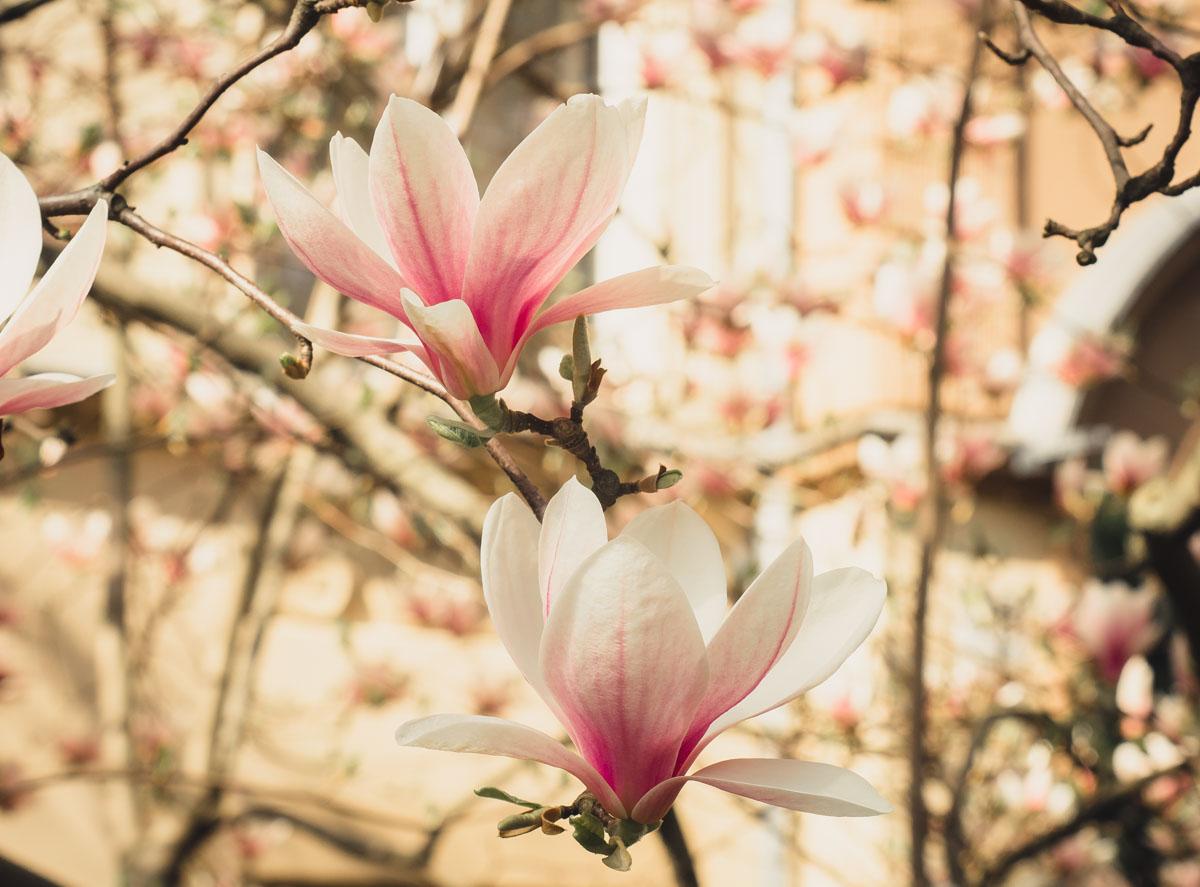 Magnolienblüten, Berlin