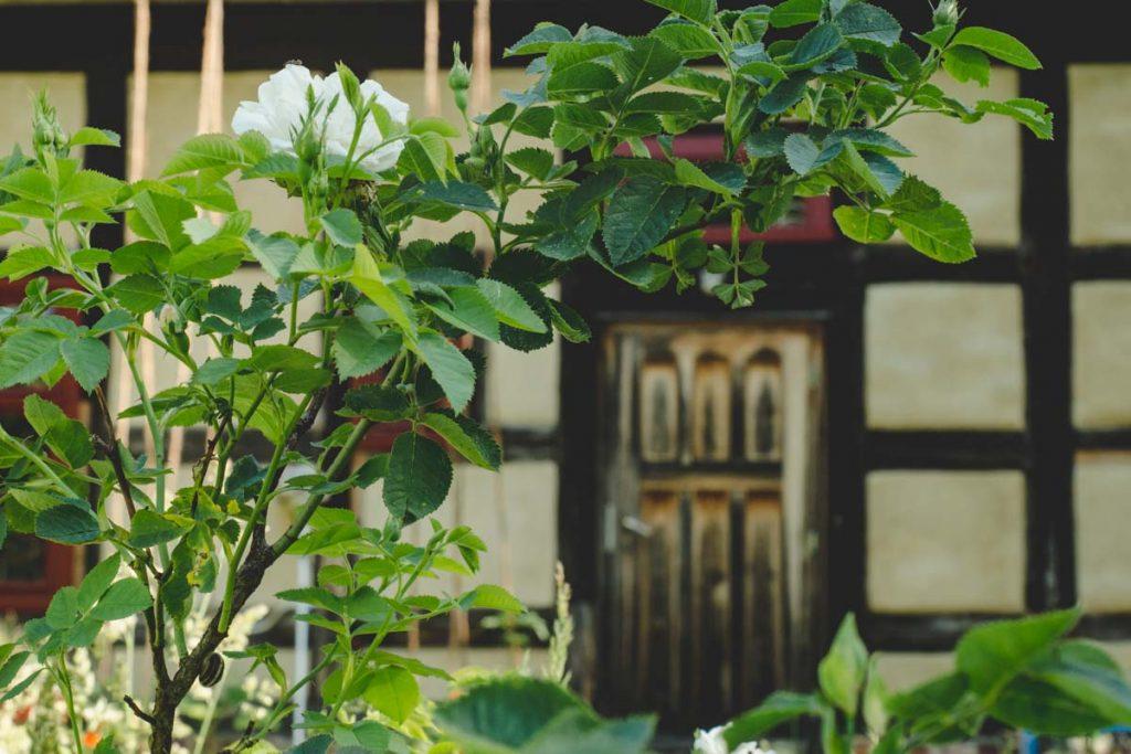 Wildrose vor altem Fachwerkhaus