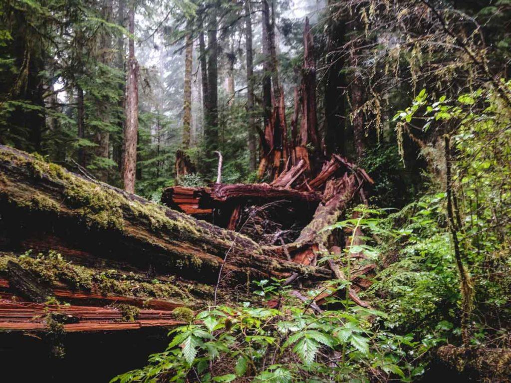 Wilder Urwald auf Vancouver Island