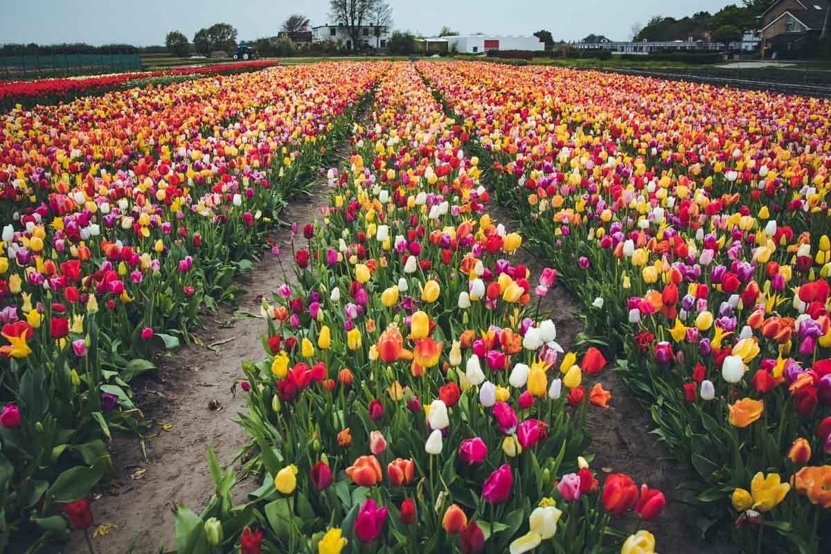 Tulpenfeld zum Selberpflücken