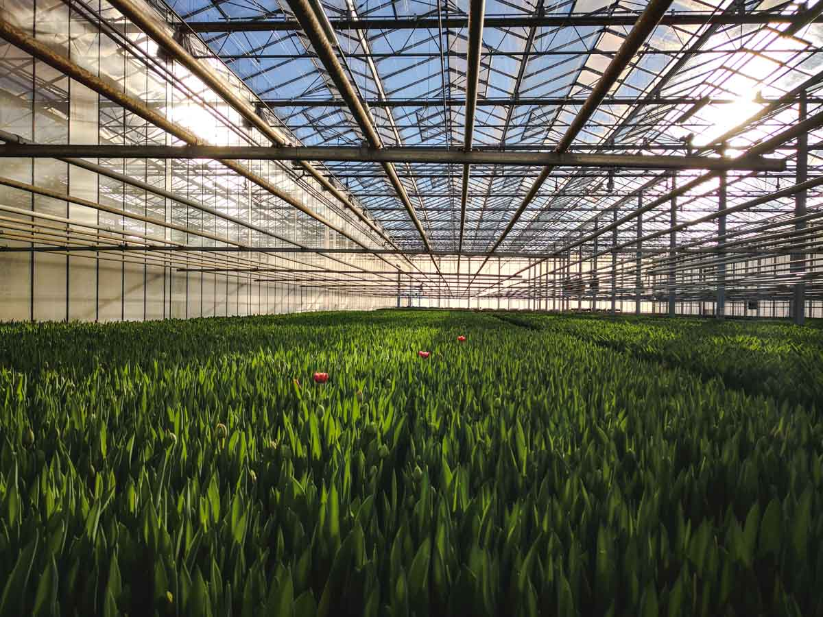 Tulpen-Gewächshaus in Holland