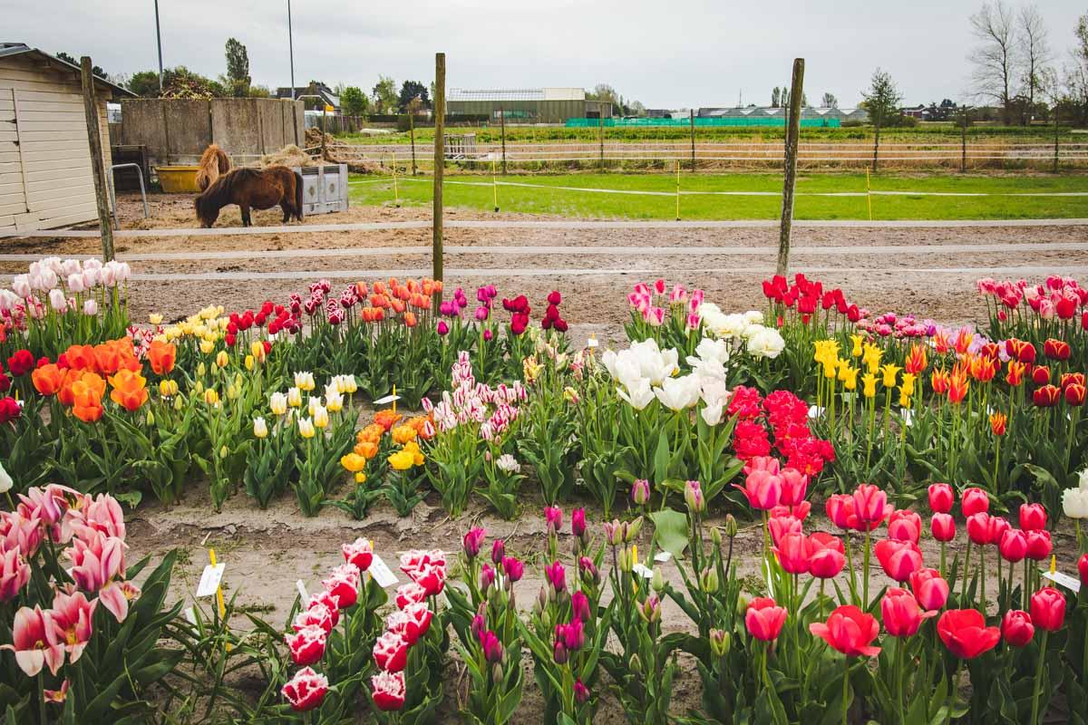 Tulpenbeete mit Pony