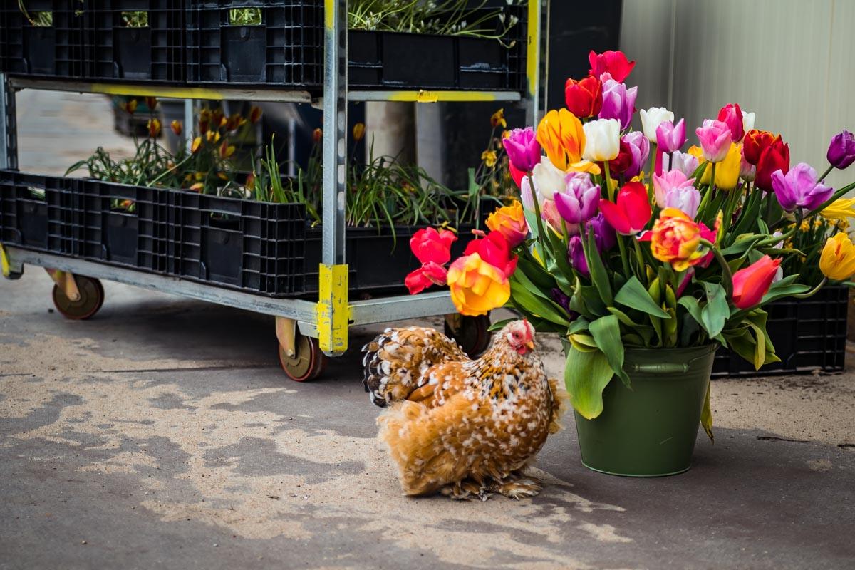 Tulpen mit Huhn