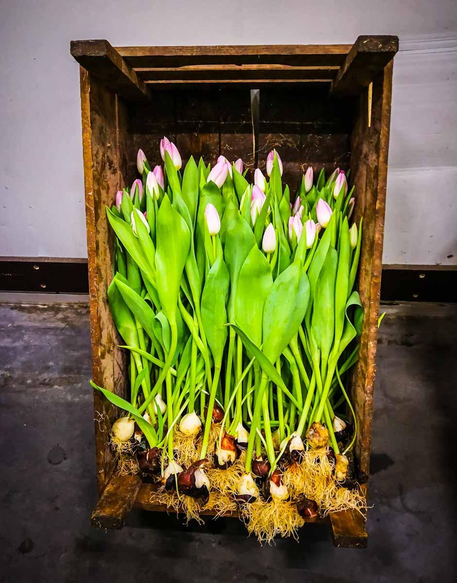 Tulpen mit Zwiebeln