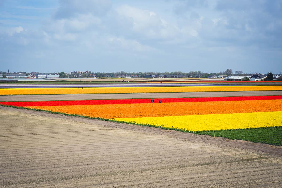 Tulpenfelder in Noordwijk