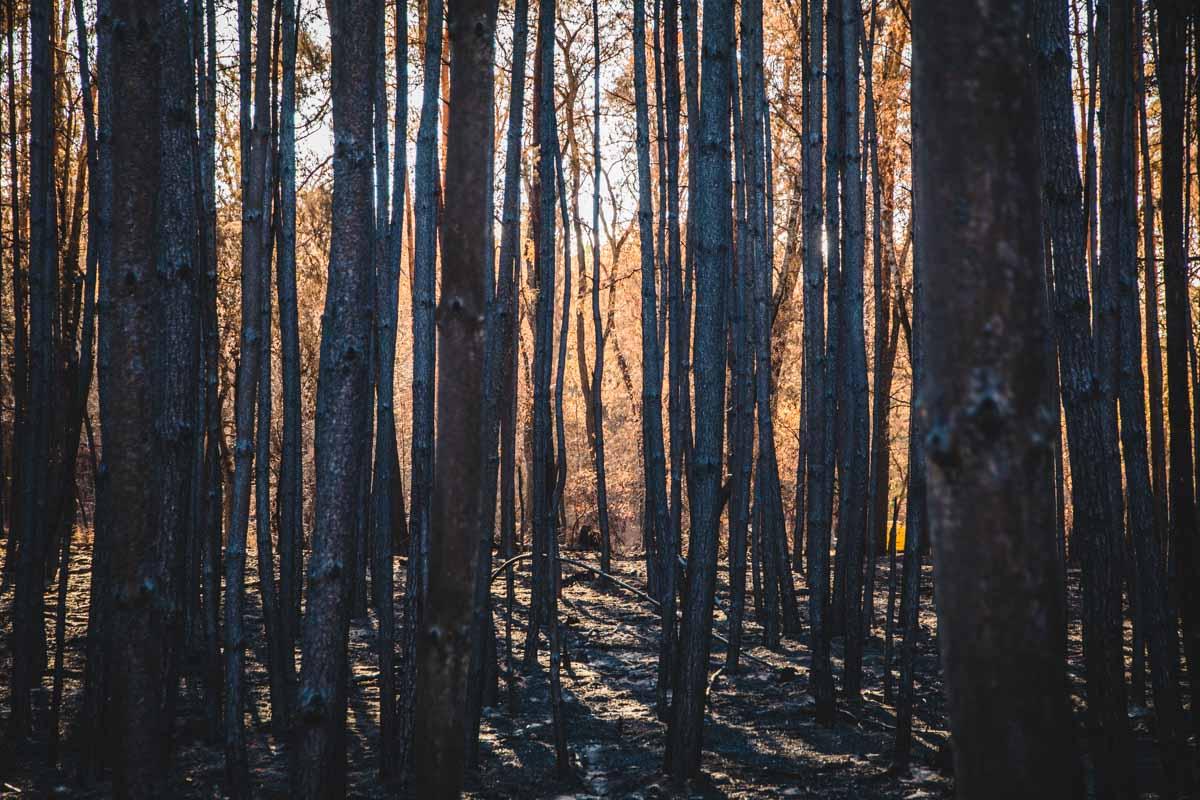 Abgebrannter Wald in Brandenburg