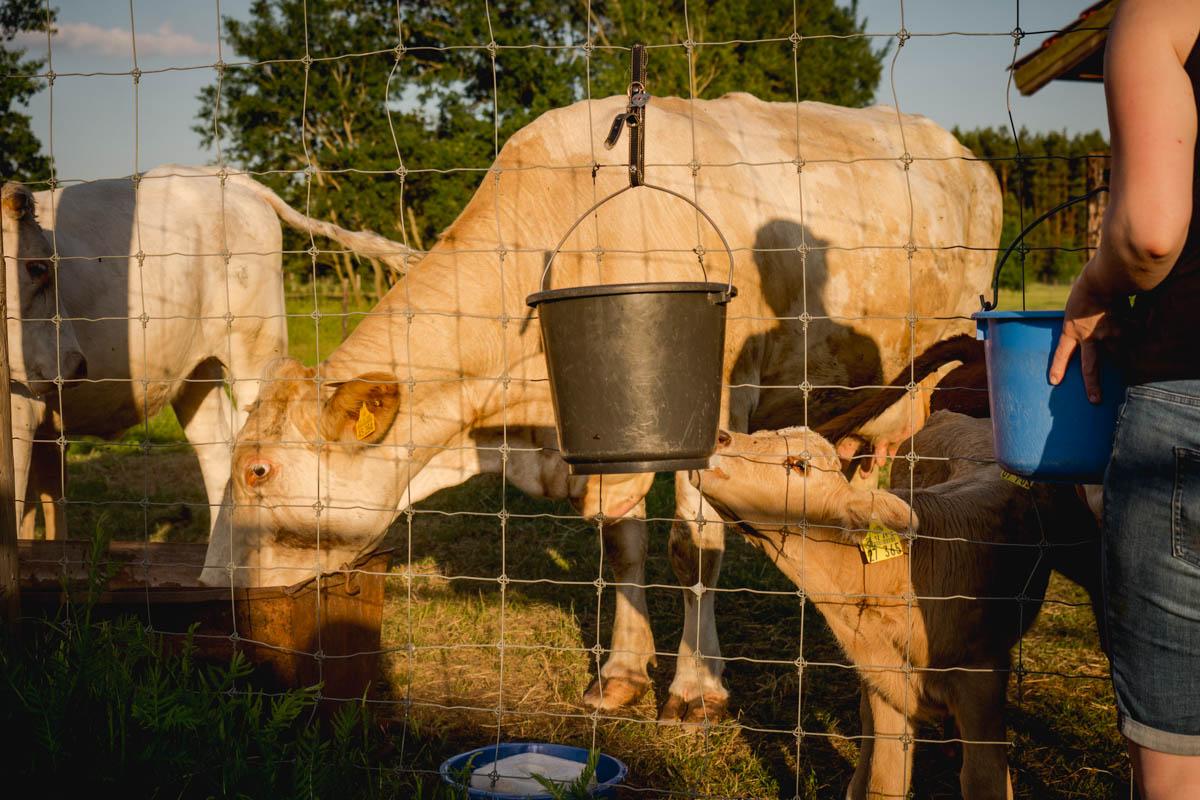 Kälbchen bekommt Milch
