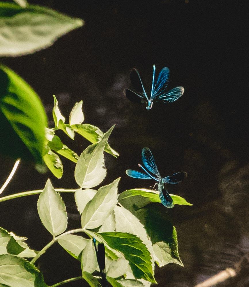 Blaugefiederte Prachtlibelle